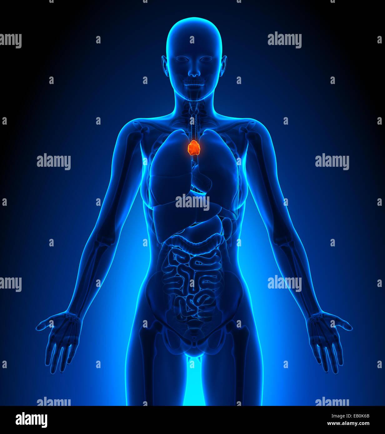 Thymus - Female Organs - Human Anatomy Stock Photo: 75617763 - Alamy
