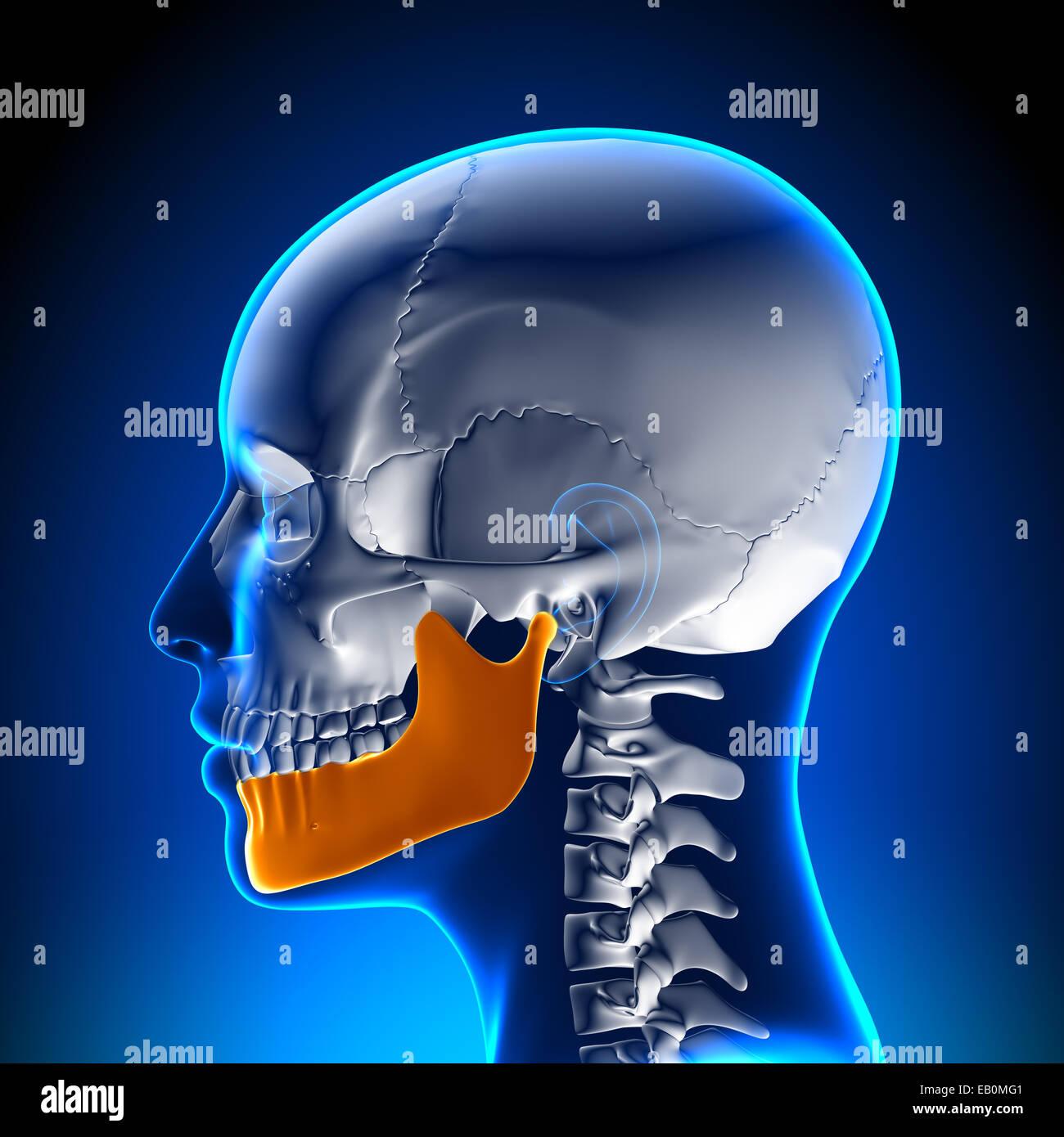 Female Mandible Anatomy Skull Stock Photo 75618817 Alamy