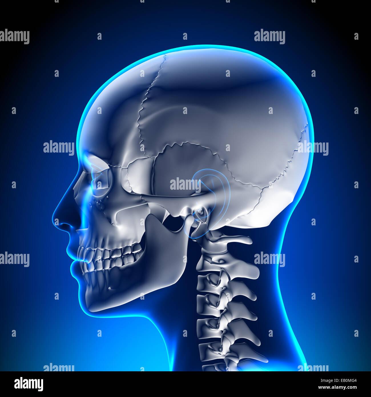 Anatomy Male Skull / Cranium Stock Photo: 75618820 - Alamy
