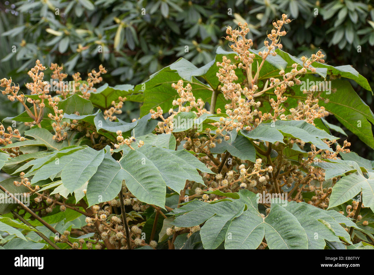 Late autumn flowers stand above the massive foliage of the rice paper plant, Tetrapanax papyrifer - Stock Image