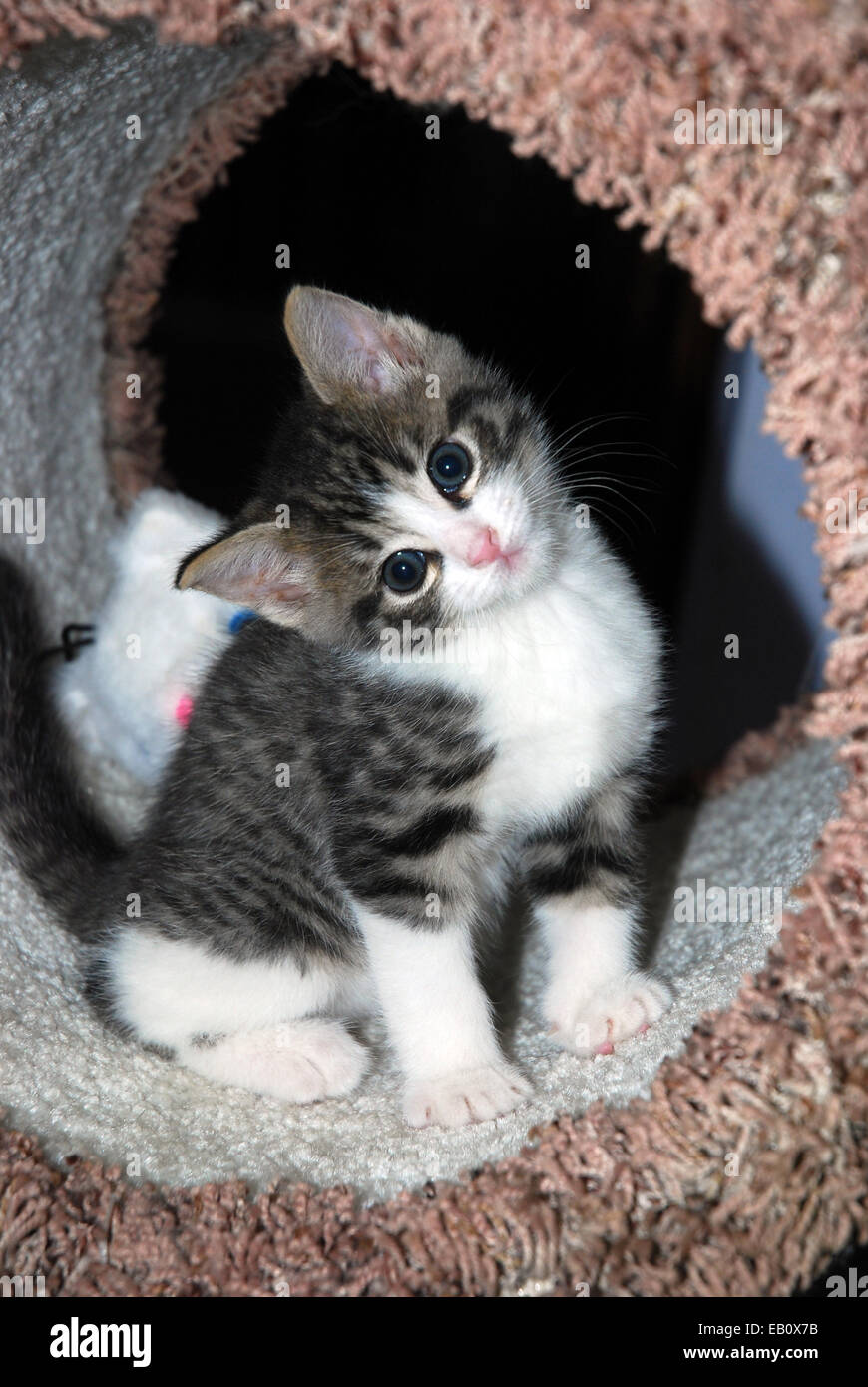 Cute tabby and white kitten sitting a cat tower with head tilted - Stock Image