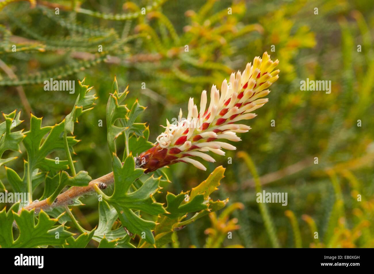 Petrophile macrostachya, Long-eared Petrophile in Lesueur NP, WA, Australia - Stock Image
