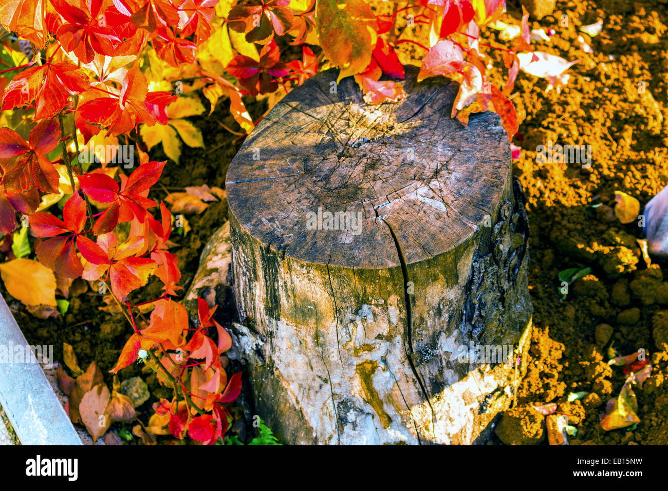 Red and orange leaves of a Virginia creeper around cut trunk in autumn Stock Photo