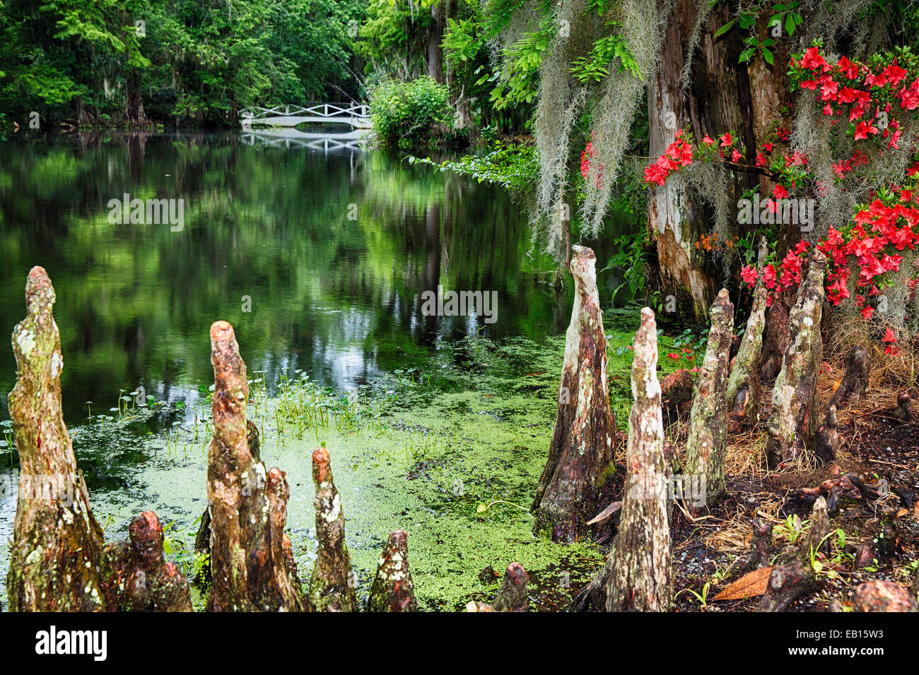 Swamp Cypress Roots Along A Pond with a White Footbridge, Magnolia Plantation, Charleston, South Carolina - Stock Image
