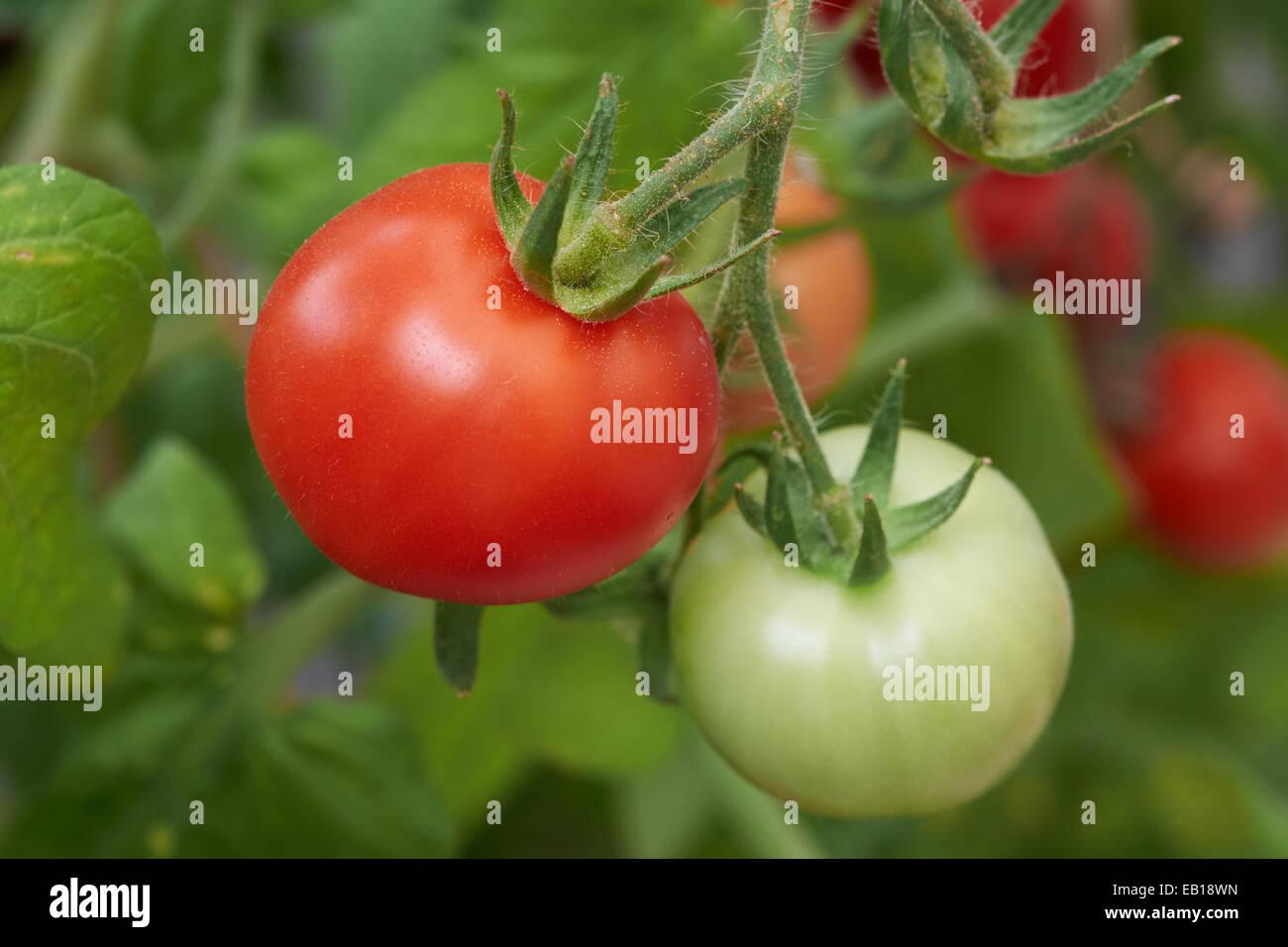 Ripe fresh tomatoes growing on the vine. Stock Photo