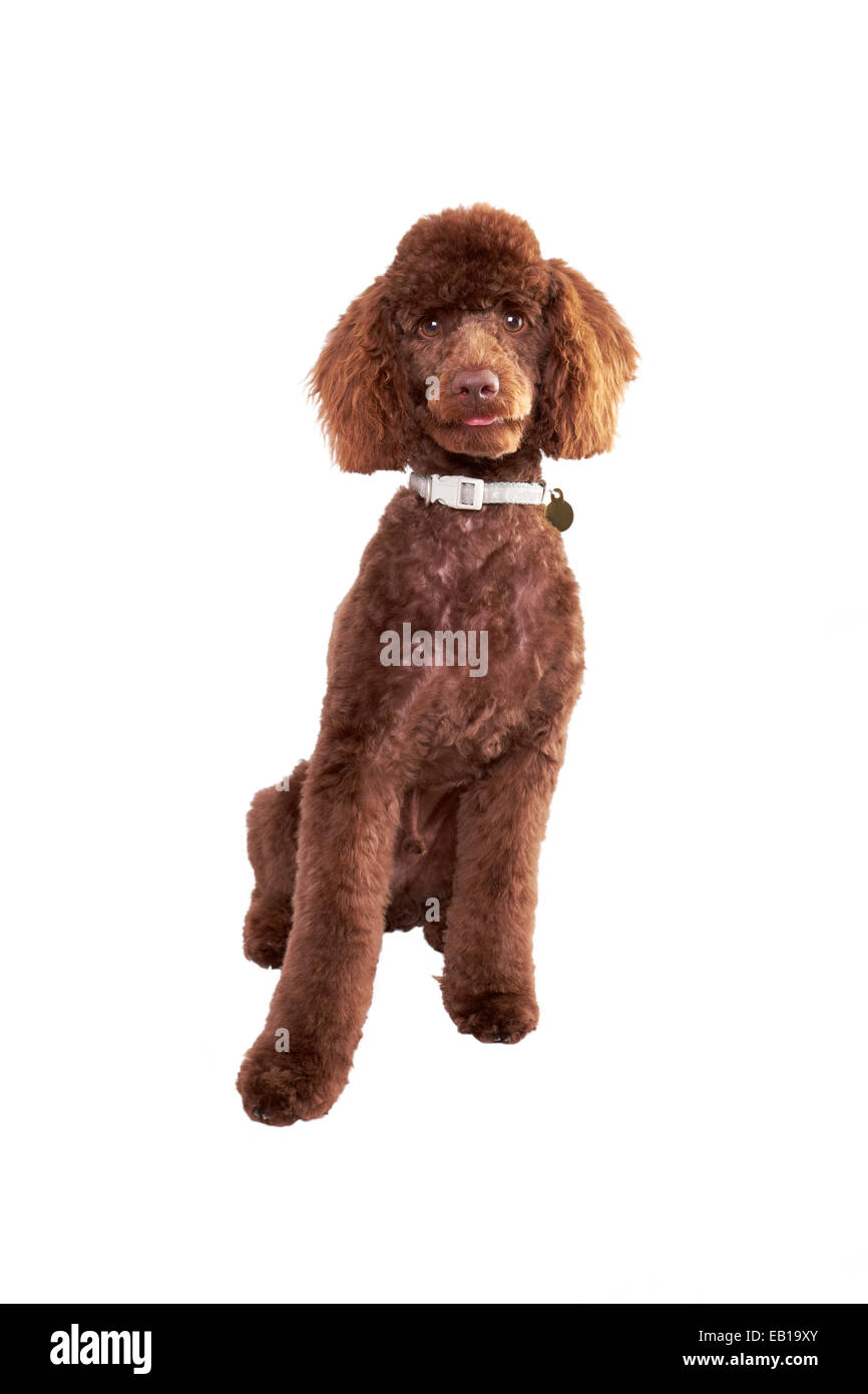 A Miniature Poodle Puppy isolated on a white background. - Stock Image
