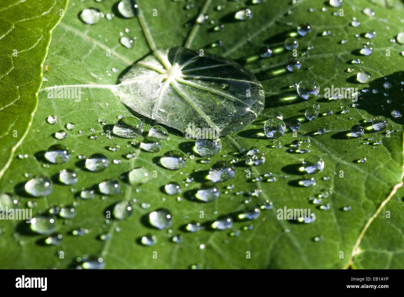 Dewdrops on a leave - Stock Image