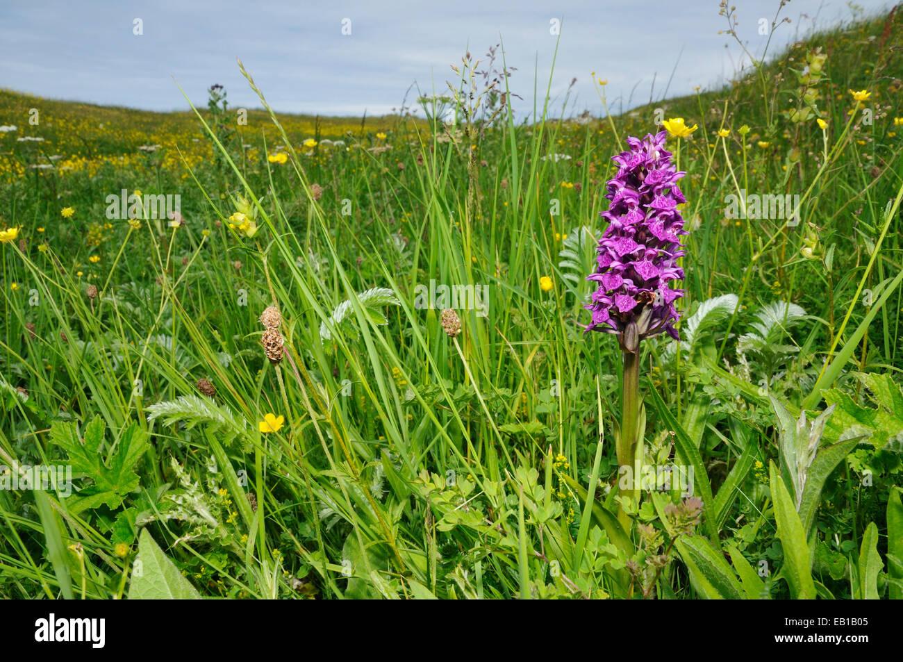 Northern Marsh Orchid - Dactylorhiza purpurella  Growing on Machair grassland - Stock Image