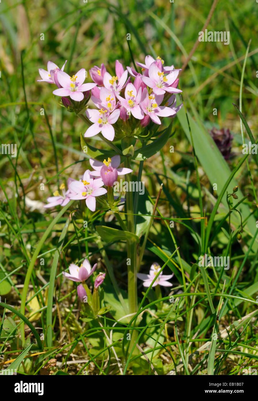 Common Centaury - Centaurium erythraea Machair Grassland, North Uist - Stock Image