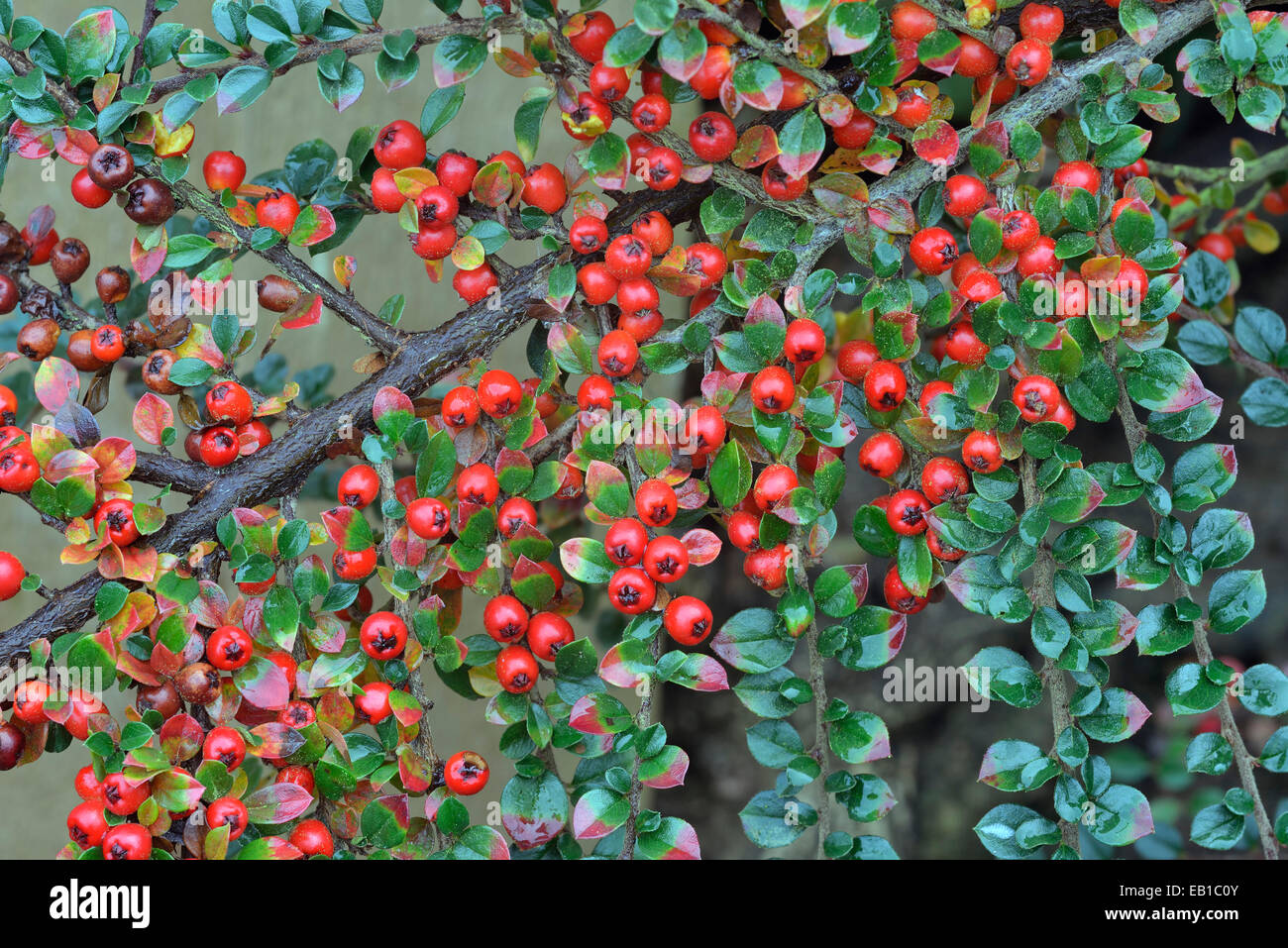 Wall Cotoneaster - Cotoneaster horizontalis Garden Shrub with Red Berries - Stock Image