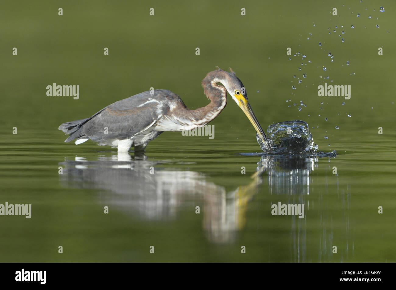 Tricolored Heron - Egretta tricolor - Stock Image