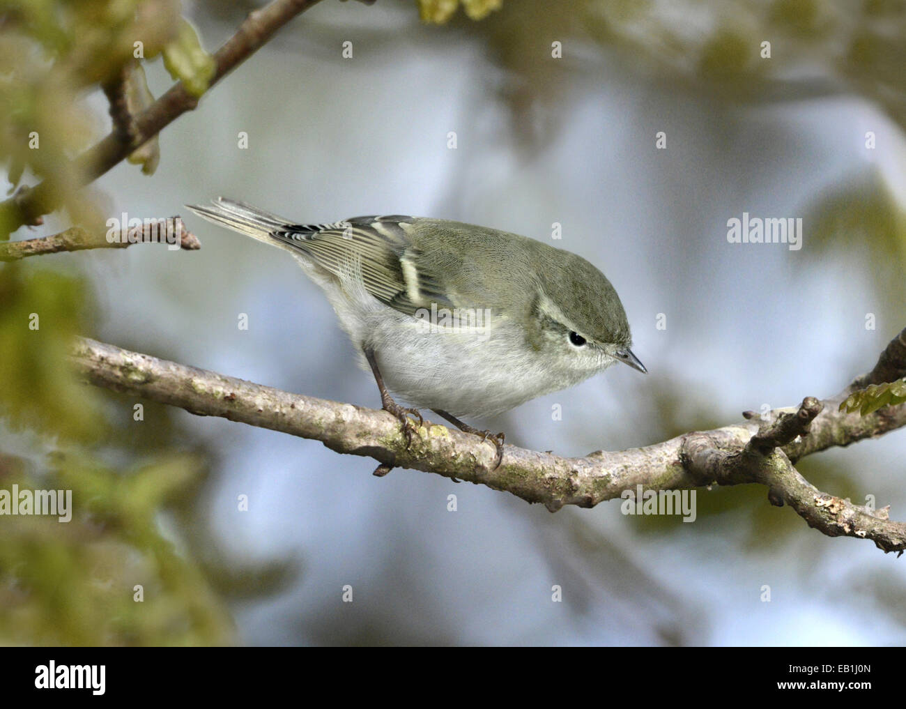 Hume's Leaf-warbler - Phylloscopus humei Stock Photo