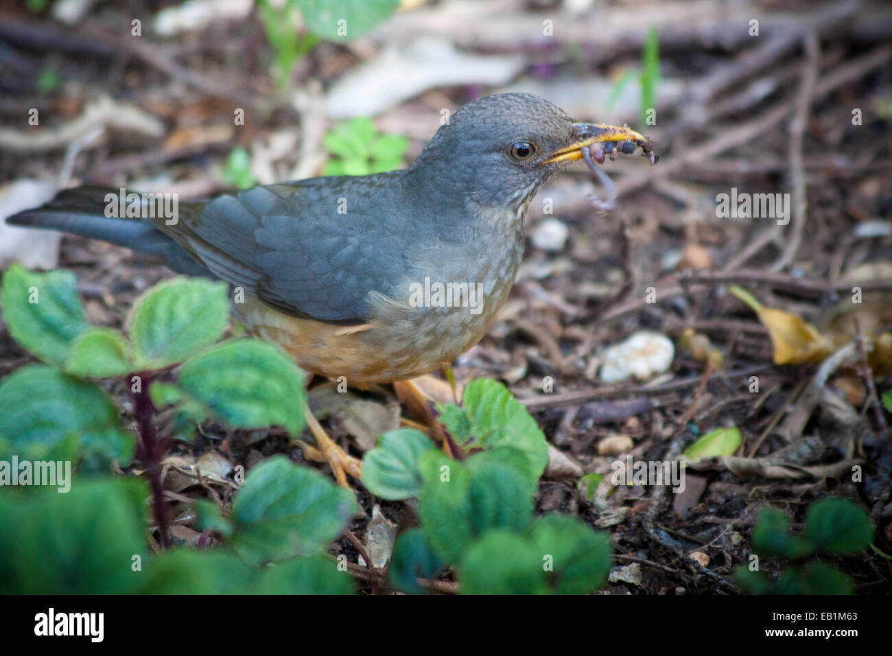 Olive Thrush, This bird is endemic to Southern Africa, mostly around South Africa's eastern and southern coasts Stock Photo