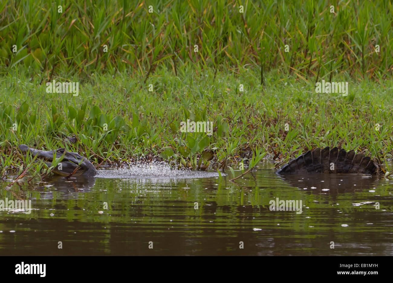 Jacare (Yacare) Caiman (Caiman yacare) in Pantanal region of Mato Grosso state, Brazil - Stock Image