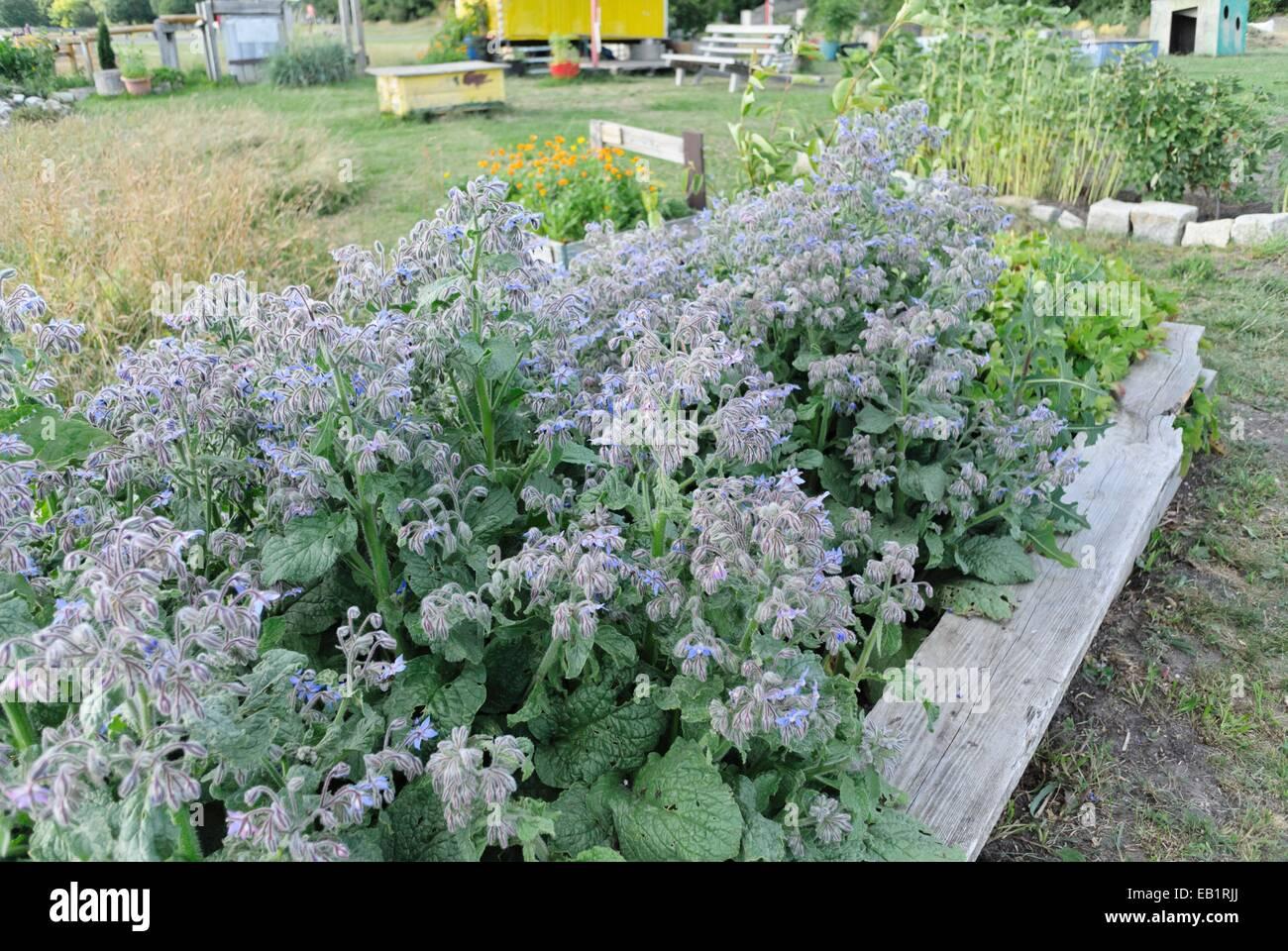 Borage (Borago officinalis) in a community garden, Tempelhofer Freiheit, Berlin, Germany - Stock Image