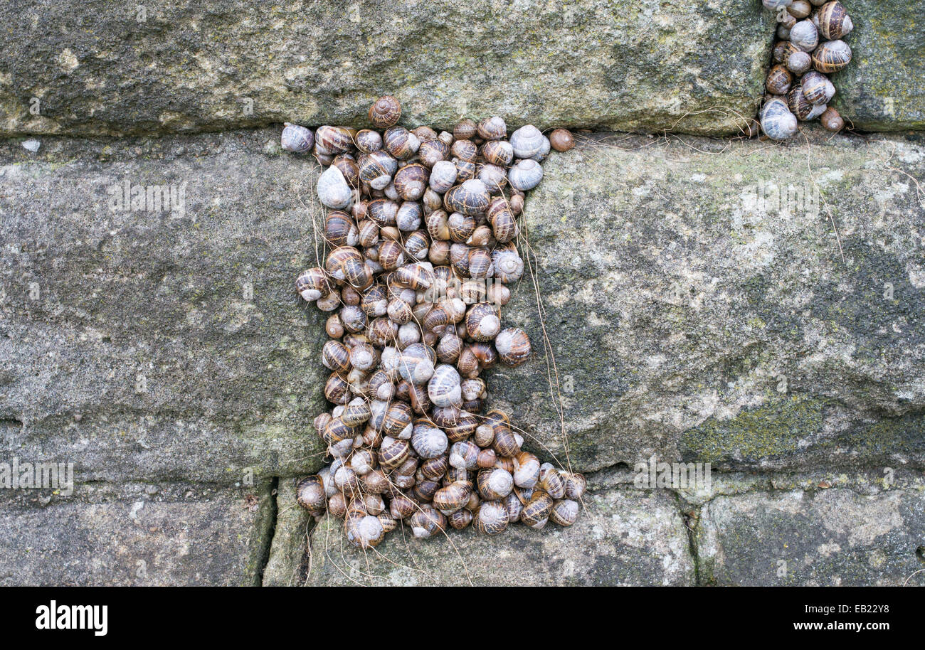 Colony of snails hibernating within a crack in a stone wall, Sunderland, north east England, UK - Stock Image