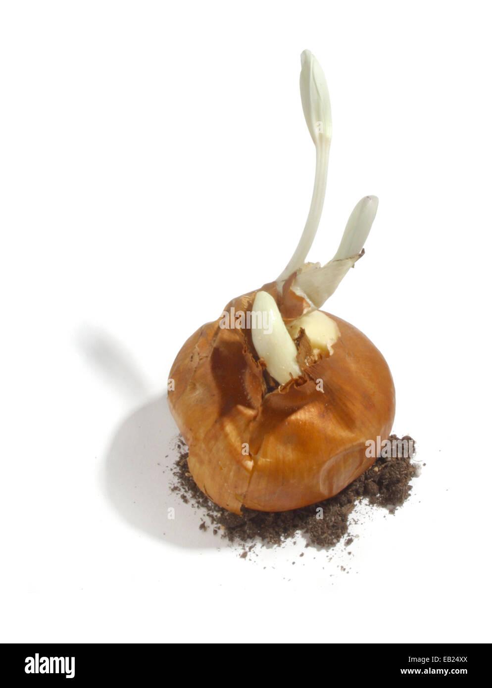 flower bulb Stock Photo