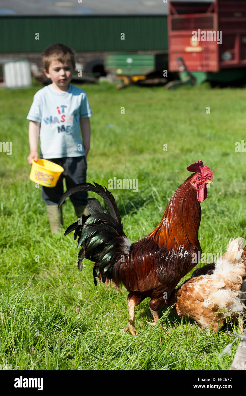 Young boy feeding poultry on farm. Cumbria, UK. - Stock Image