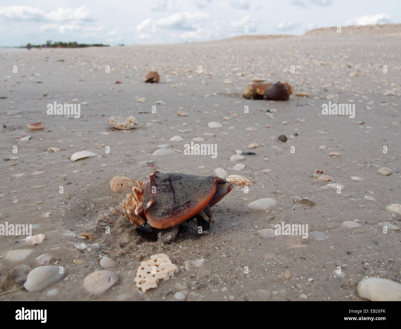 A live Fighting Conch crawls along the beach at Lovers Key State Park, Ft. Myers, Florida, USA, October 6, 2014, Stock Photo