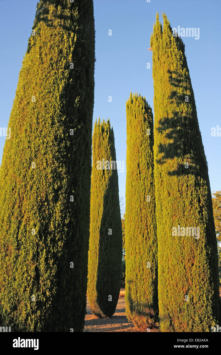 A setting sun casts long shadows on four cypress trees stretching into the blue late afternoon sky. - Stock Image