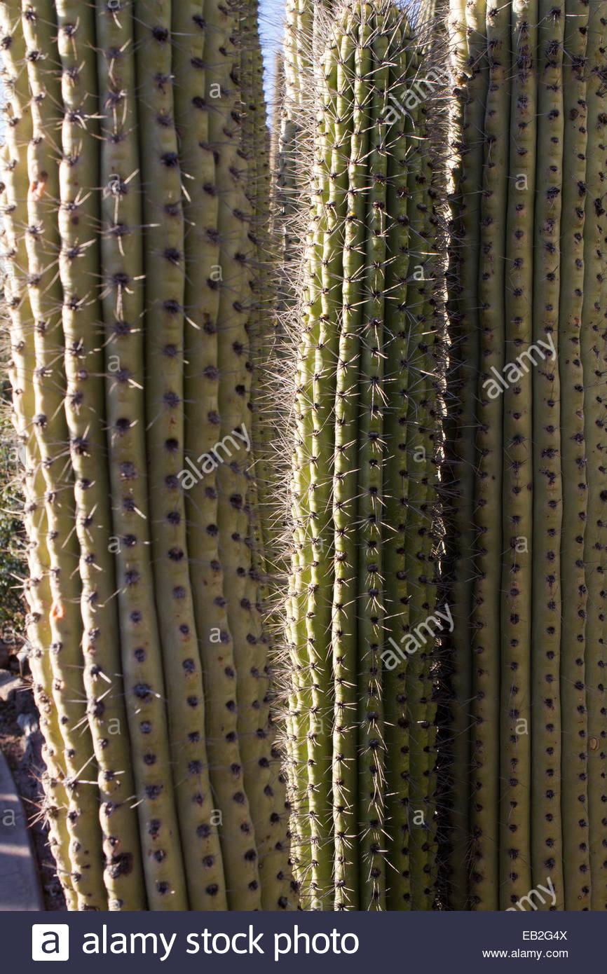Stenocereus Stock Photos Amp Stenocereus Stock Images Alamy