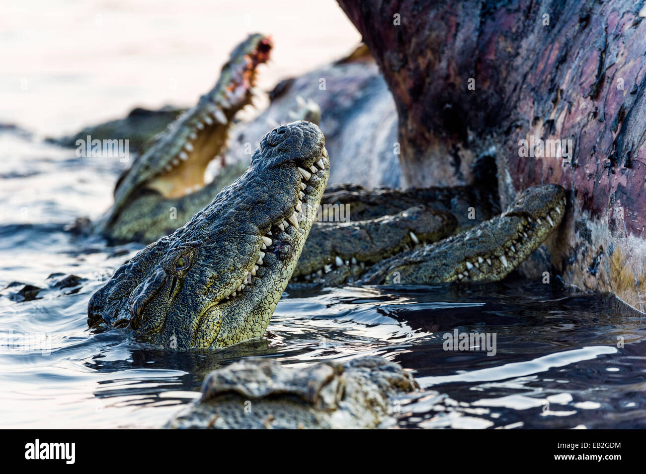 Nile Crocodiles feast on the decaying corpse of a Nile Hippopotamus. - Stock Image