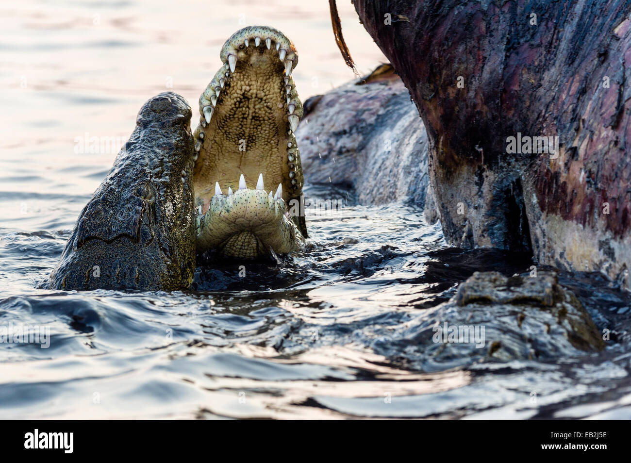 Nile Crocodiles in a feeding frenzy clash jaws during fights over a Nile Hippo carcass. - Stock Image