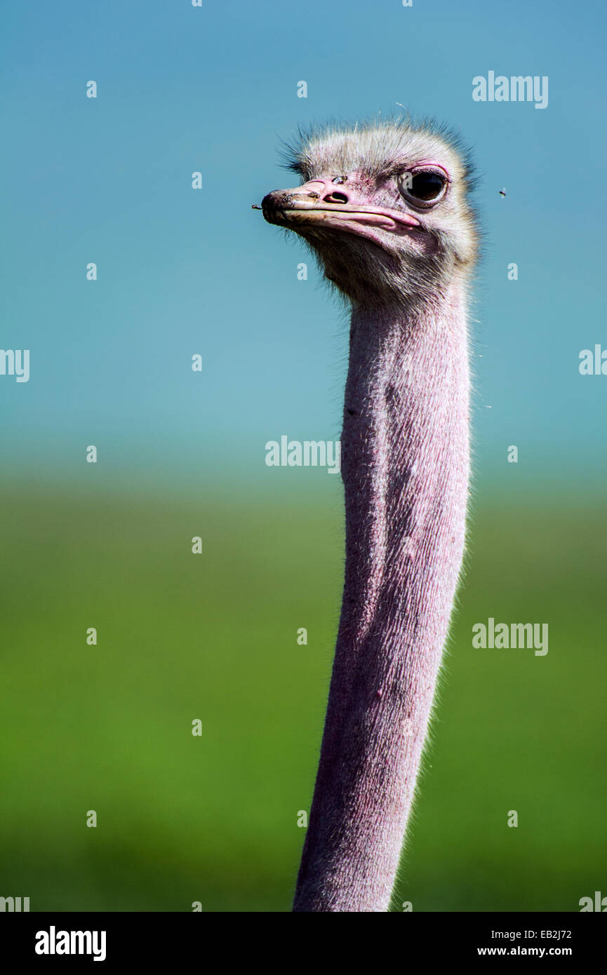 Flies buzz around the pink face and elongated neck of Ostrich. - Stock Image