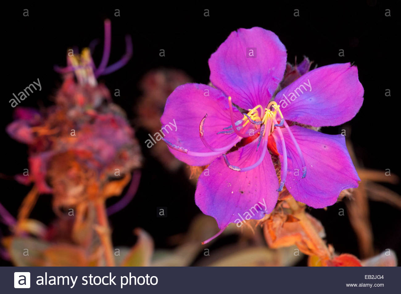 A flower from the genus Dissotis collected from Mount Gorongosa. - Stock Image