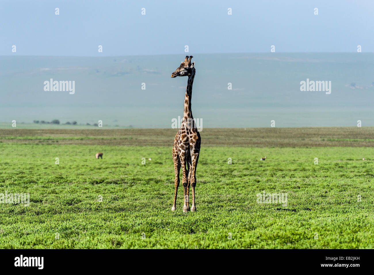 An exposed and solitary Giraffe surveying the empty short grass savannah plains. Stock Photo