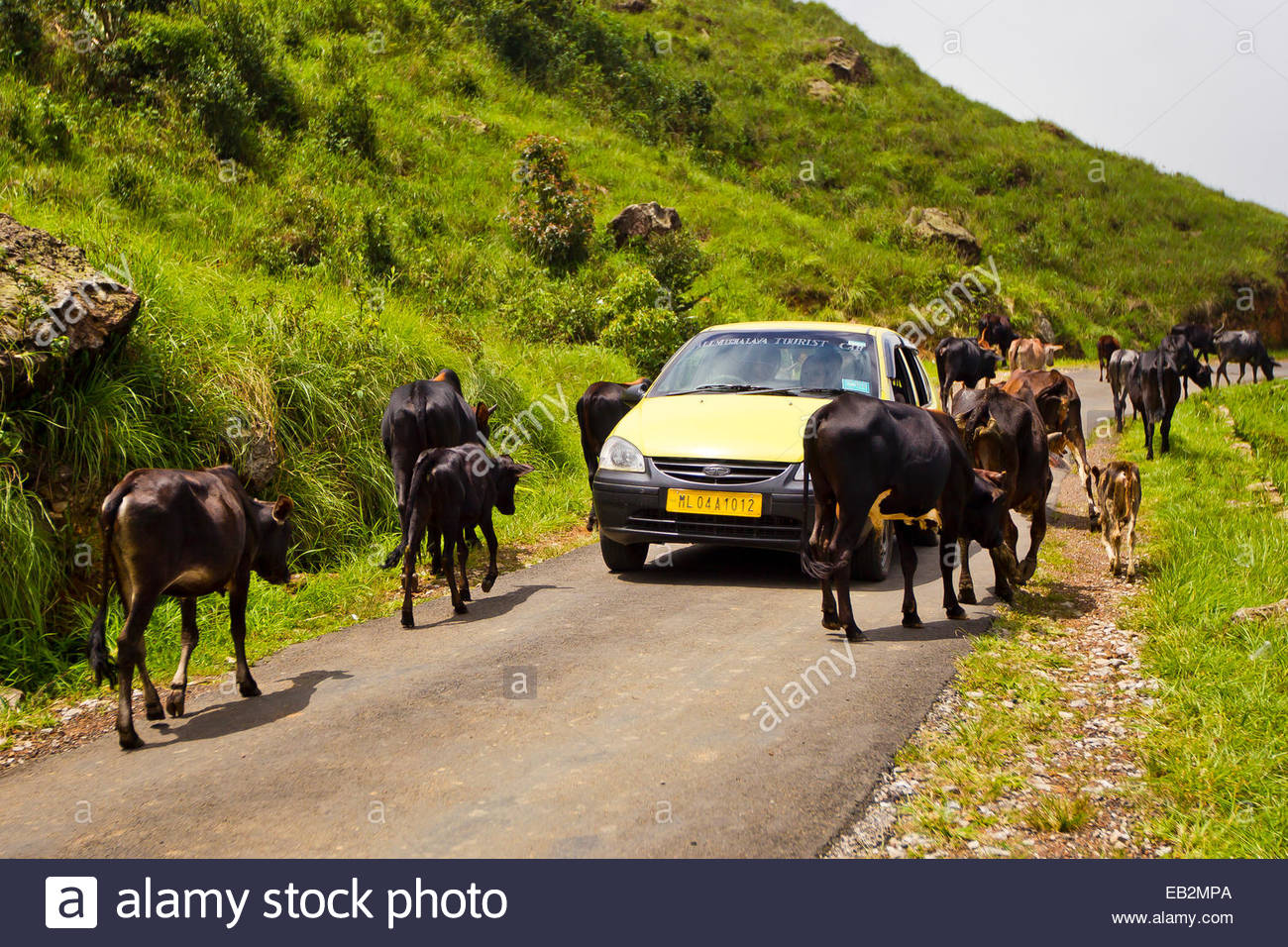 A taxi is forced to slow and beep his way through a herd of cattle walking on a rural road. - Stock Image