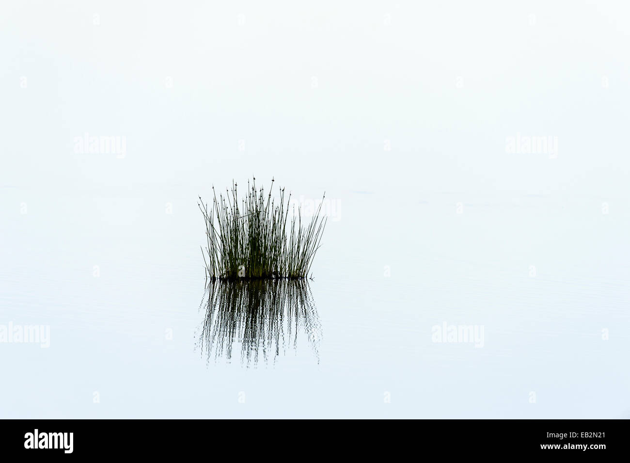 A small patch of reeds reflected in the calm surface of a waterhole after sunset. - Stock Image