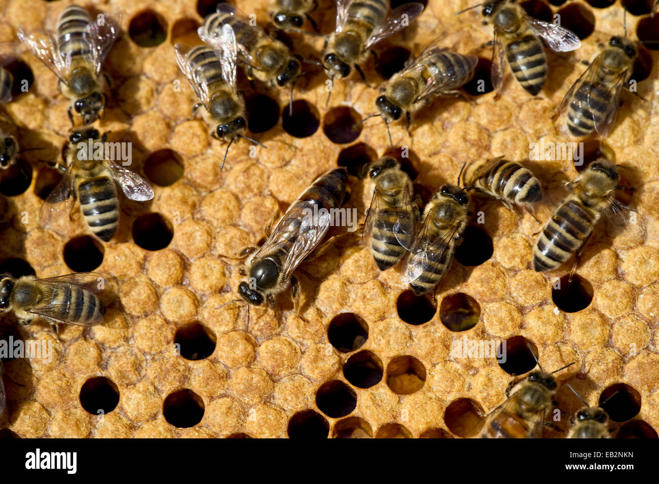Honey bees (Apis sp.) on a honeycomb, queen bee at centre, Germany - Stock Image