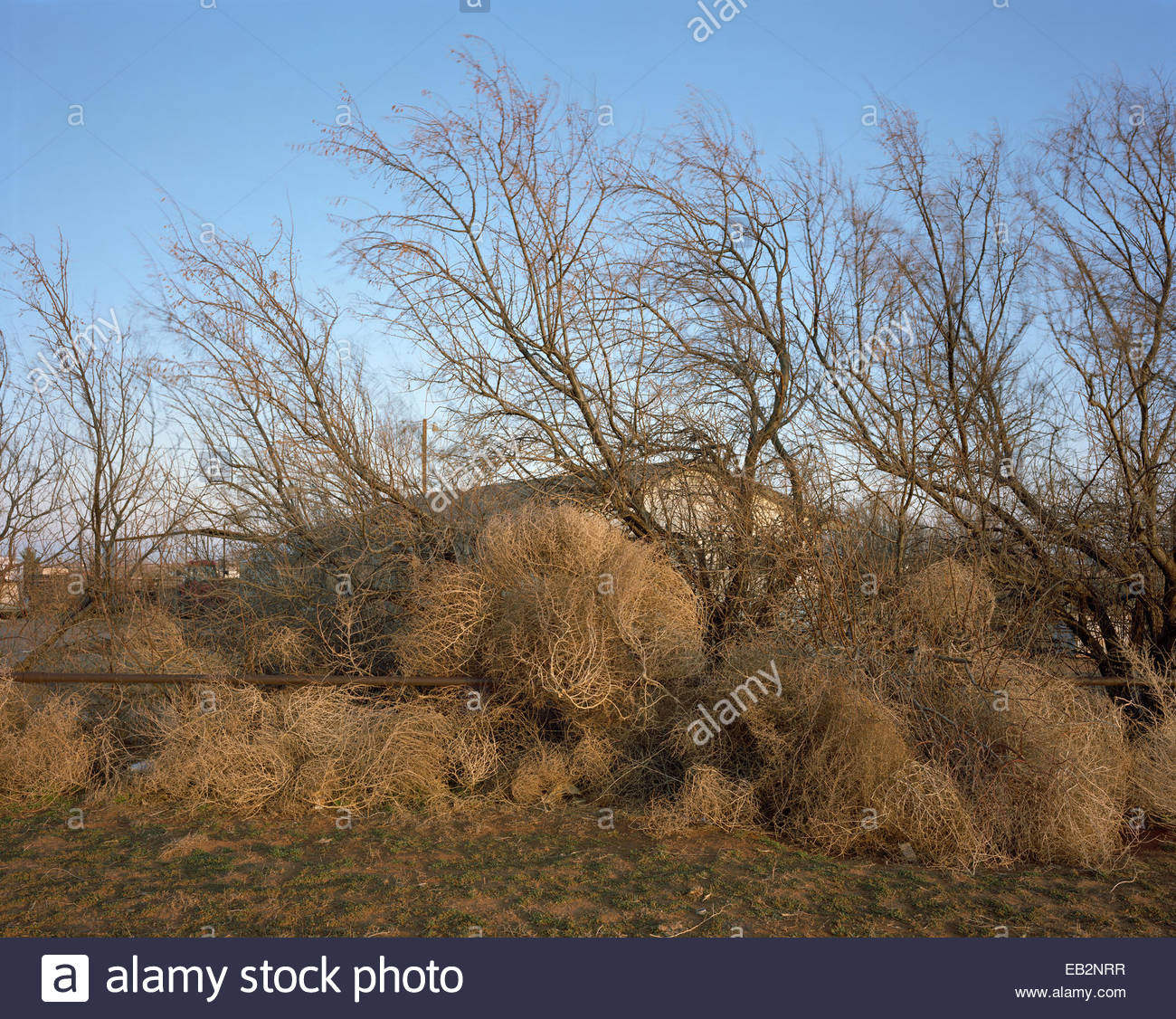 Tumbleweeds obscure a home from view. - Stock Image
