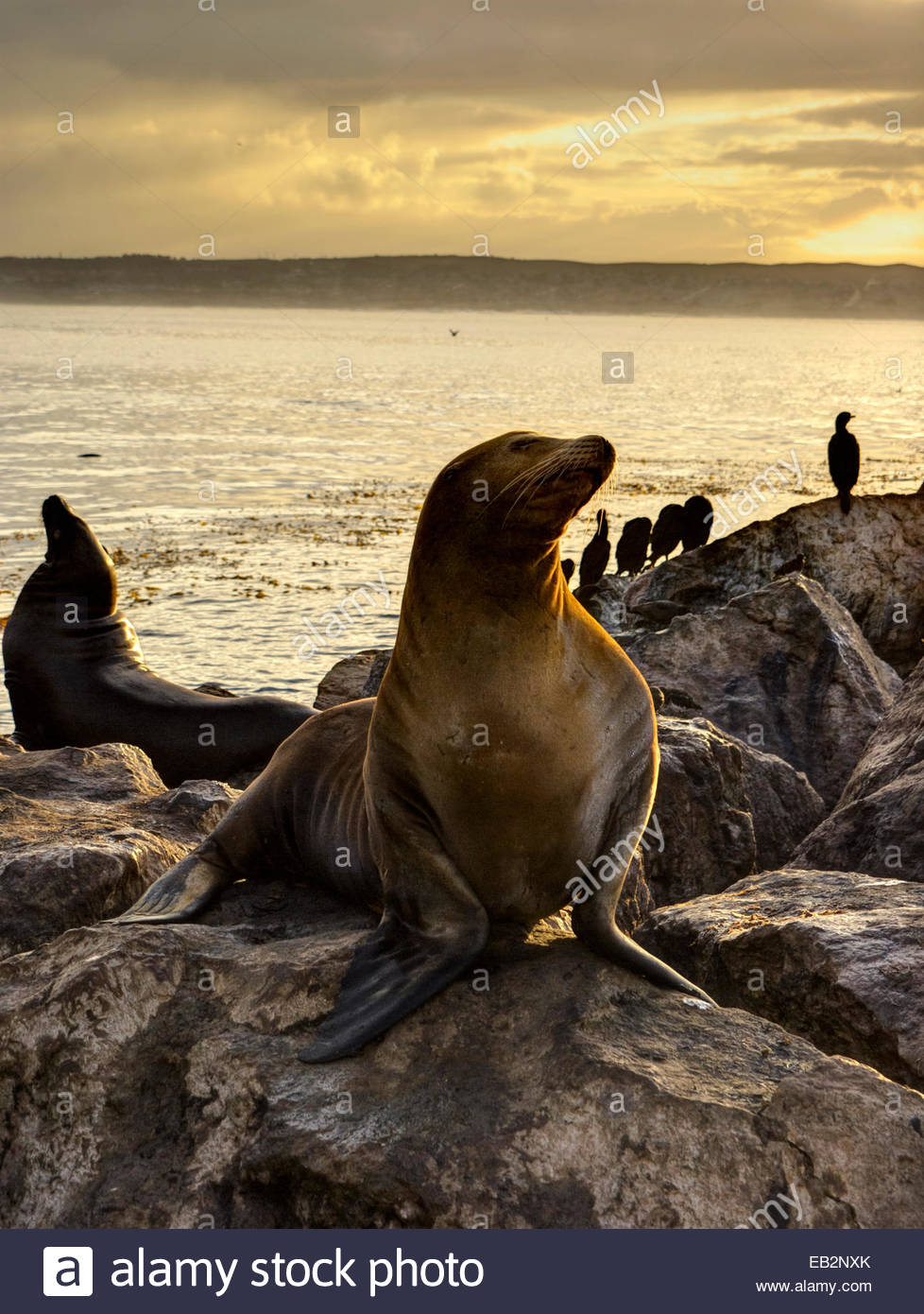 California Sea Lions And Cormorants Greet The Morning Sun On The