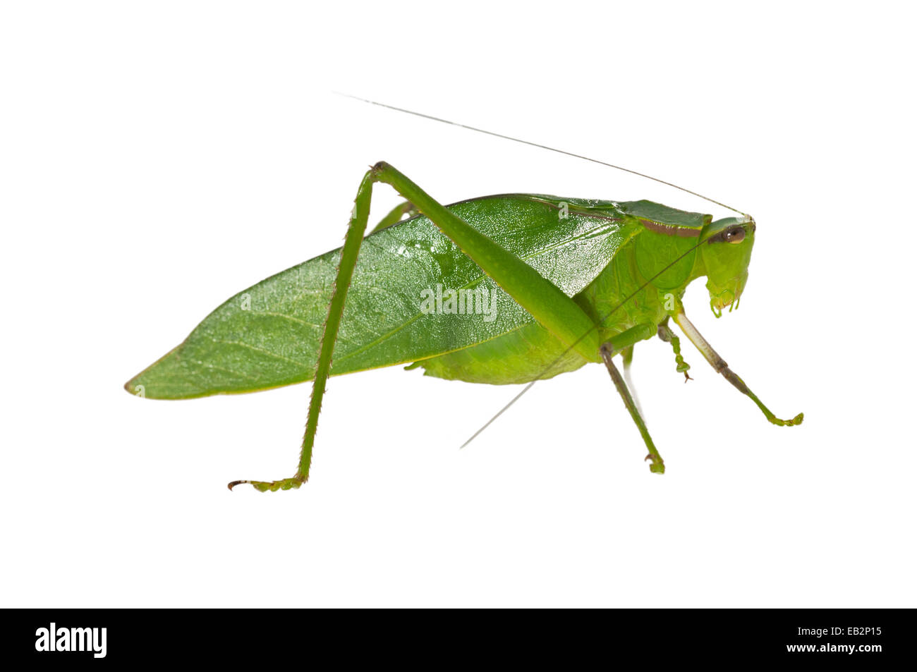 Oblong-Winged Katydid (Amblycorypha oblongifolia), green morph, male, Tambopata Nature Reserve, Madre de Dios Region, - Stock Image