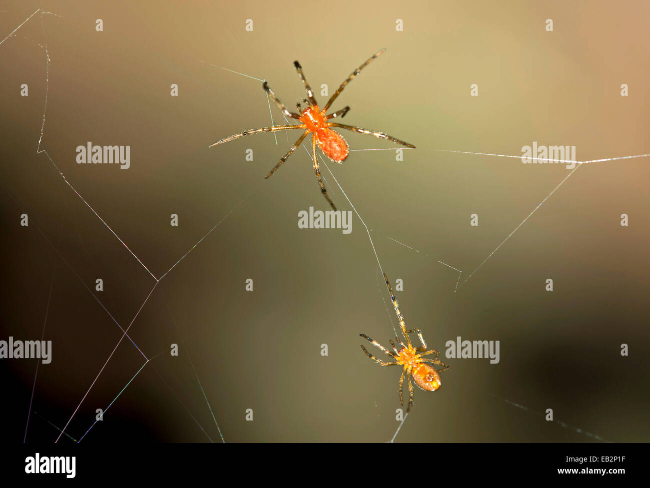 Tangle Web Spiders (Anelosimus sp.) social spiders sharing a web, Tambopata Nature Reserve, Madre de Dios Region, - Stock Image