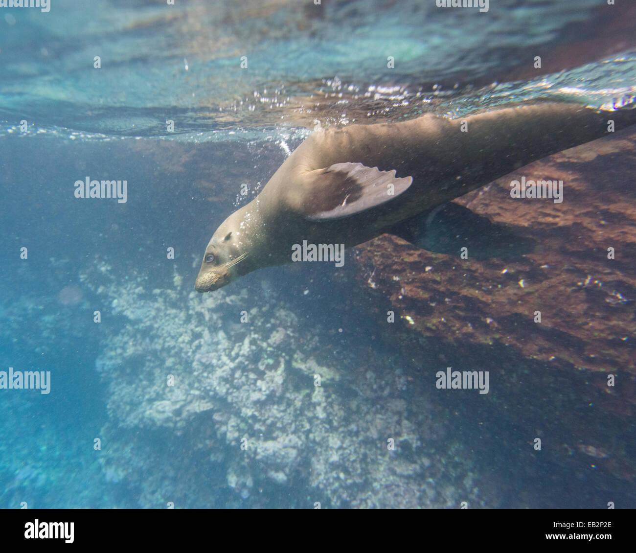 Galapagos Sea Lion (Zalophus wollebaeki) under water, Española Island, Galápagos Islands, Ecuador - Stock Image