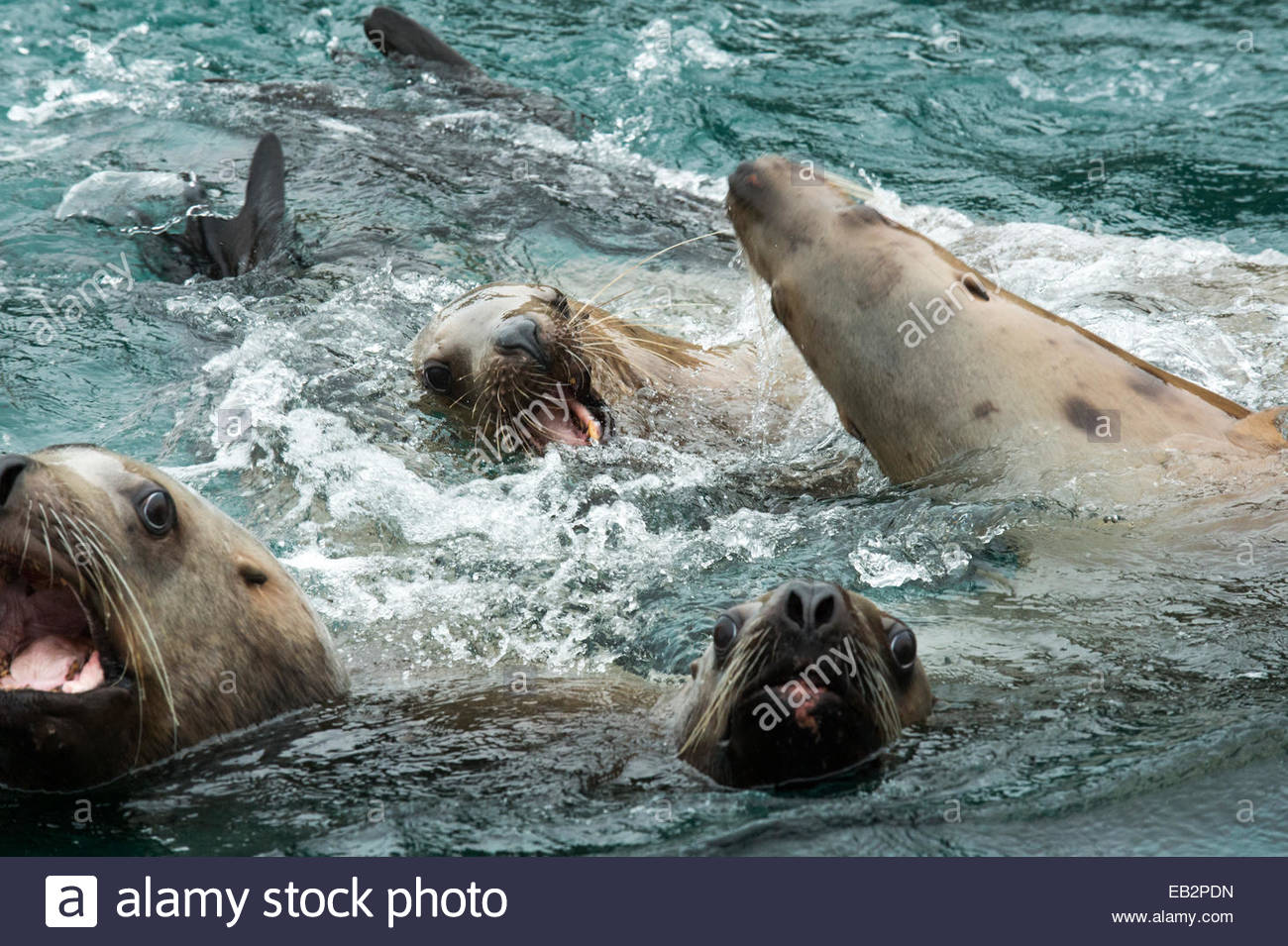 Close up of Stellar sea lions barking and playing in the water. Stock Photo