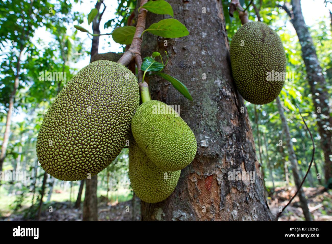 Jack Fruit Kerala Stock Photos & Jack Fruit Kerala Stock ... Soursop Tree In Kerala