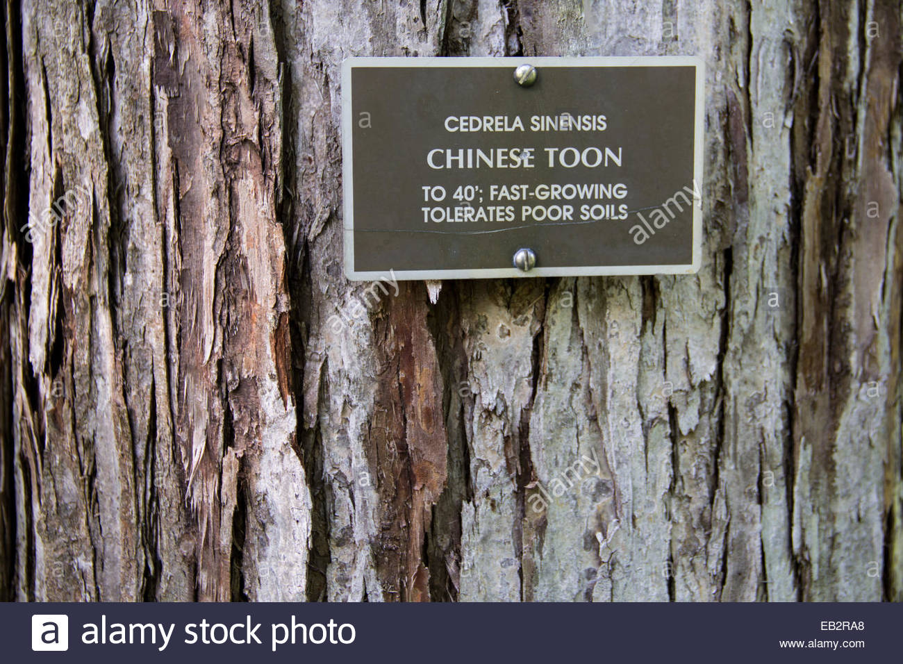 Close view of the bark and trunk of a Chinese toon tree, Cedrela sinensis. - Stock Image