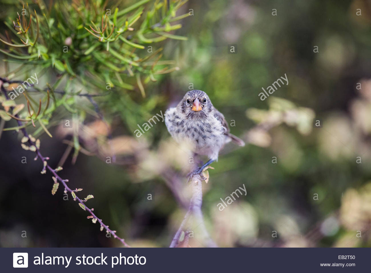 A Darwin finch in Galapagos National Park. - Stock Image