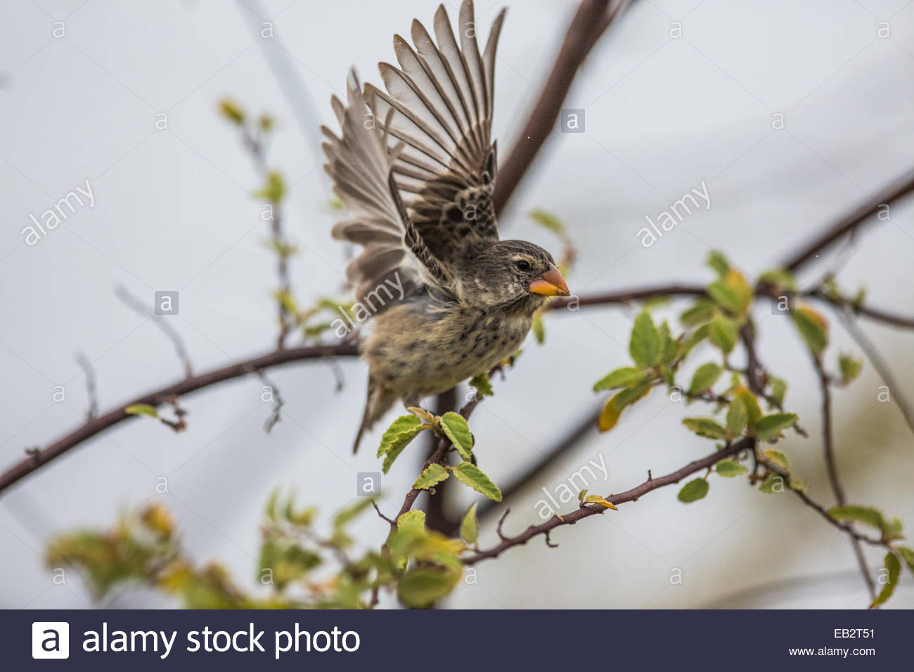 A Darwin finch with spread wings in Galapagos National Park. - Stock Image