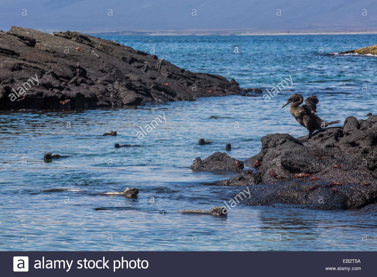 A flightless cormorant watches marine iguanas swim at Punta Espinoza on Fernandina Island in Galapagos National - Stock Image