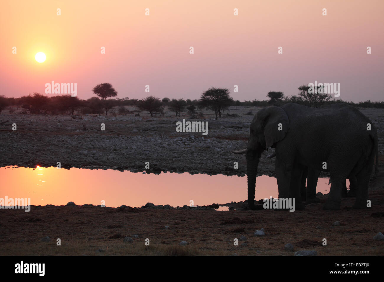 Two elephants at a watering hole as the sun goes down - Stock Image