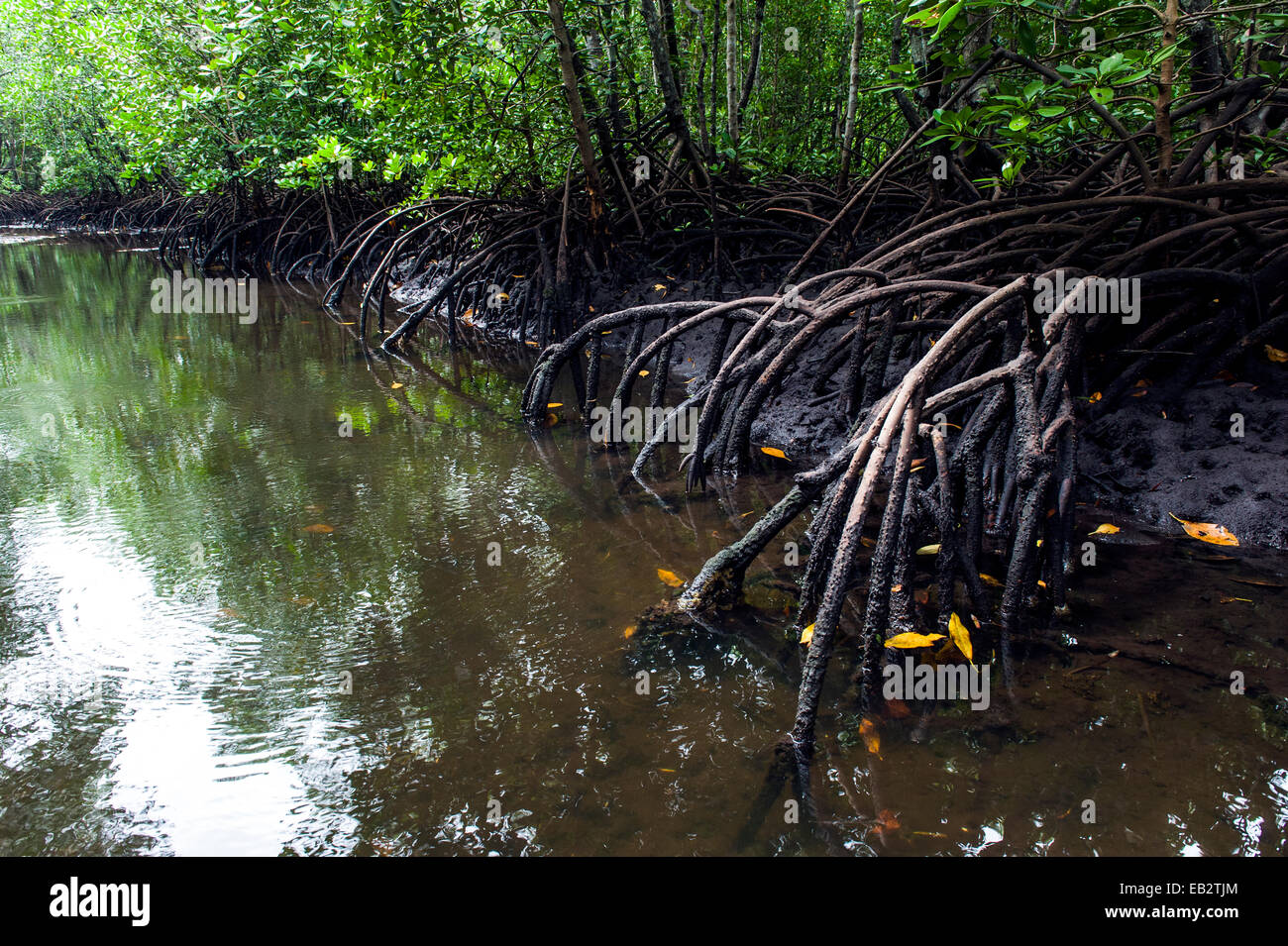 Mangrove tree roots crowd a tidal river that drains the flooded swamp forest at low tide. - Stock Image