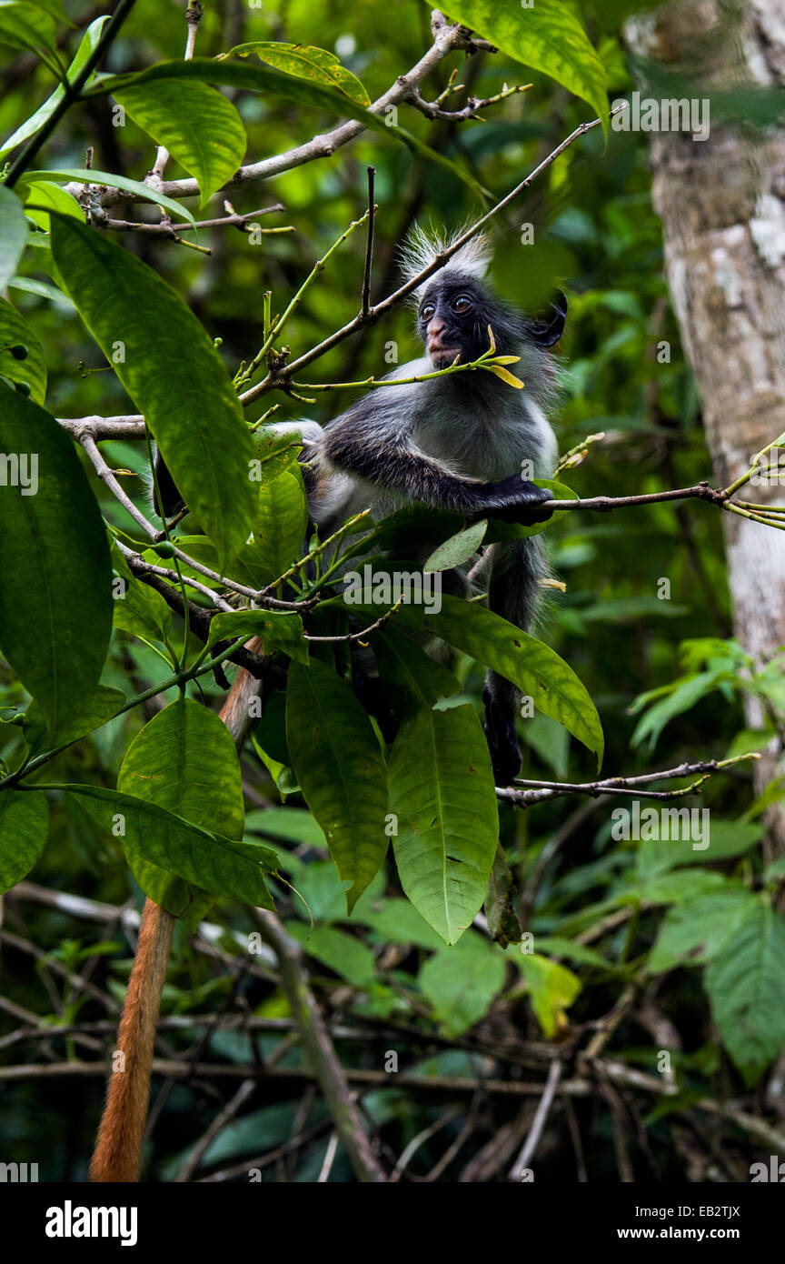 An cautious Zanzibar Red Colobus peering from the canopy of a Coral Rag Forest. - Stock Image