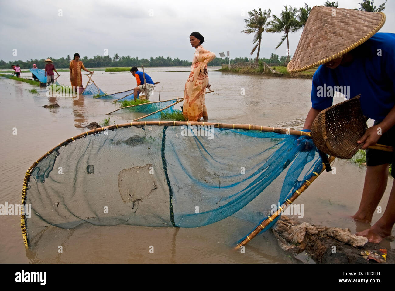 Farmers fishing with fish nets, an alternative for food when their rice fields flooded during monsoon in West Java, - Stock Image