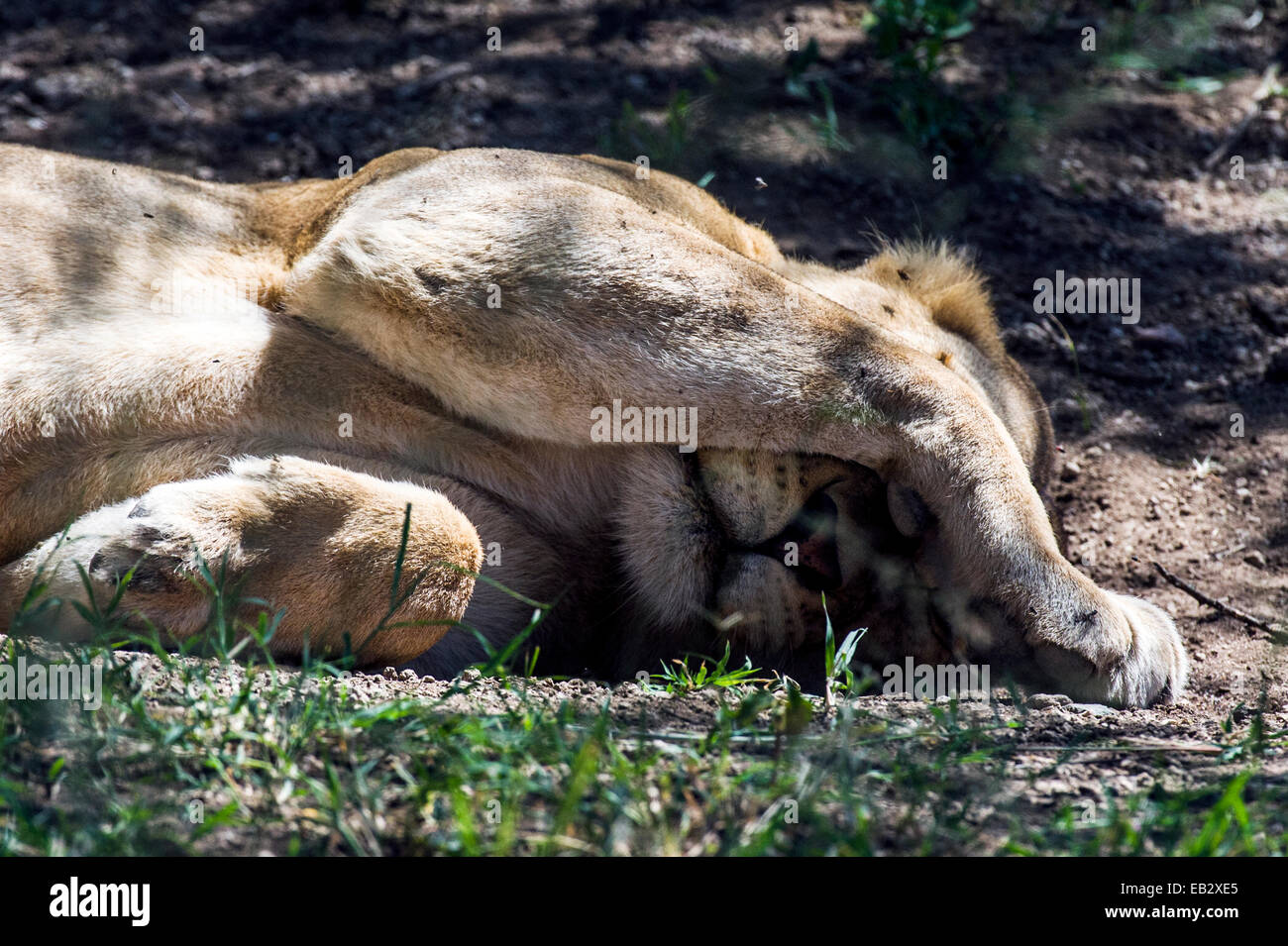 An African lion shelters its face from pest flies and the bright sun whilst it sleeps. - Stock Image