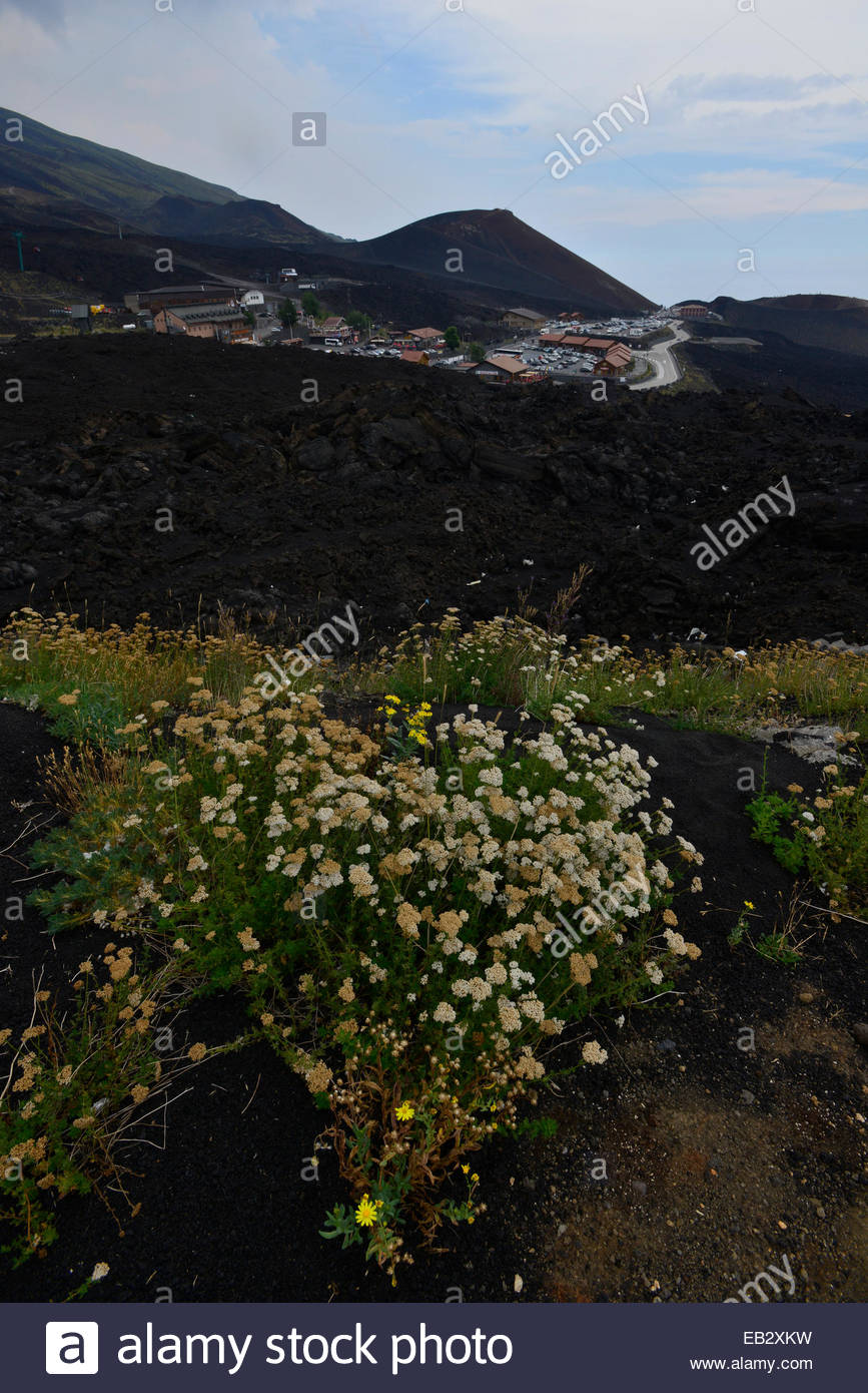 Wildflowers grow in lava on the slope of Mount Etna. - Stock Image